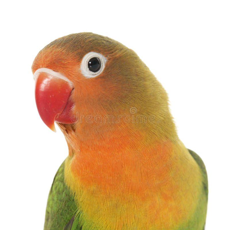 Młody fischeri lovebird zdjęcia stock