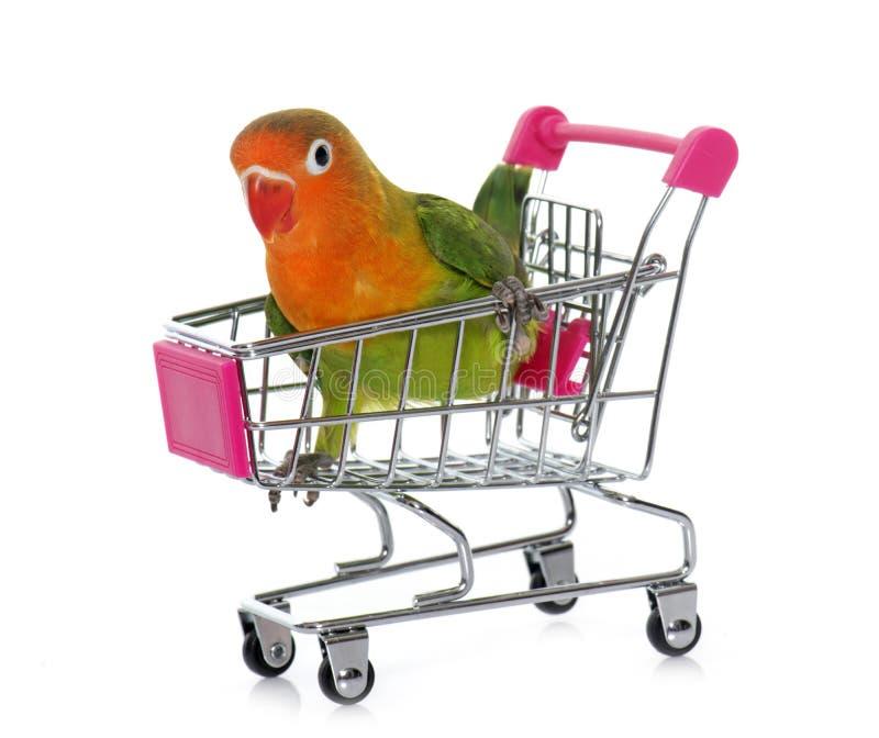 Młody fischeri lovebird w tramwaju fotografia stock