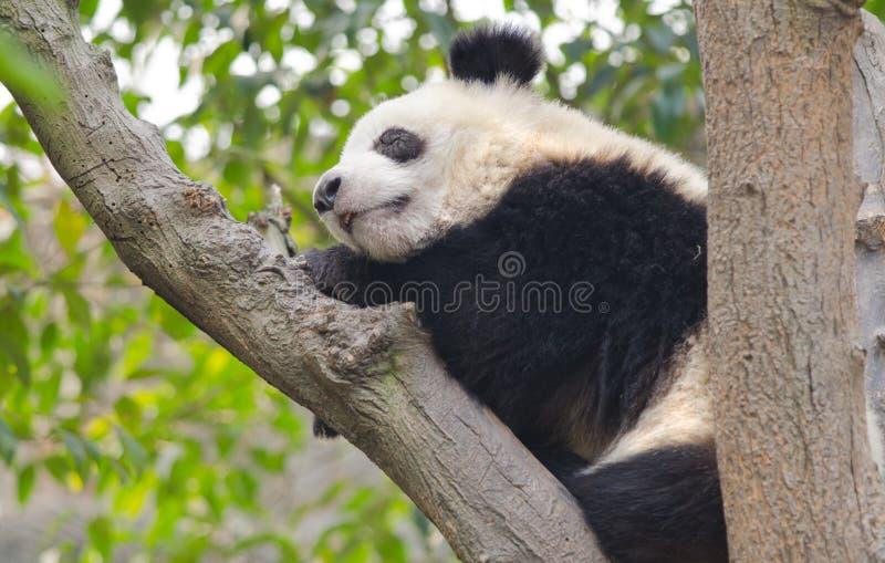 Młody Gigantycznej pandy dosypianie w drzewie obrazy stock