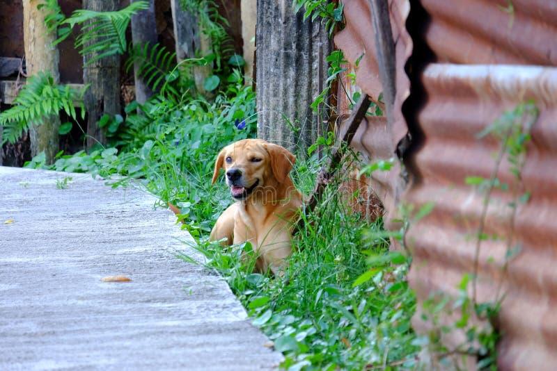 Młody golden retriever psa obsiadanie na trawy polu z uśmiechniętym twarzy i cementu droga przemian tłem obrazy royalty free