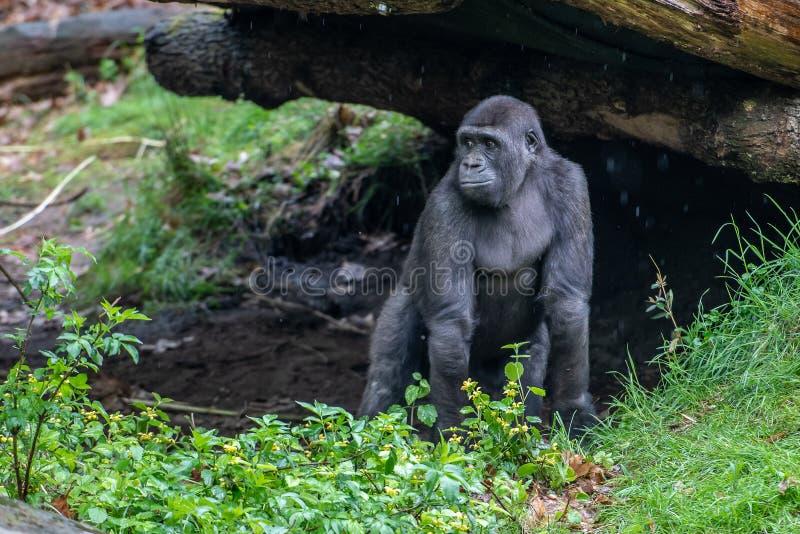 Młody goryla spojrzenie dokąd jest jego matka zdjęcie stock