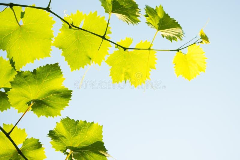 Młody Gronowy winograd na niebieskiego nieba tle w Jaskrawych słońce promieniach zdjęcie royalty free