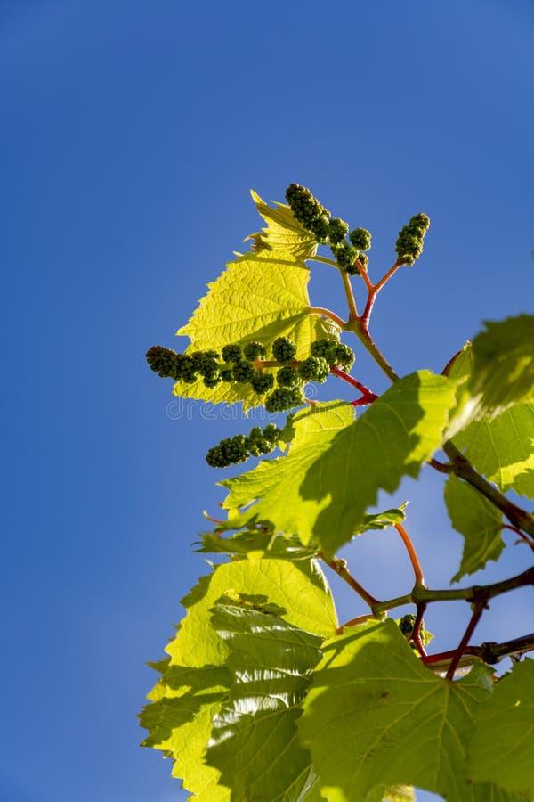 Młody gronowy winograd z małymi zielonymi winogronami na niebieskiego nieba tle fotografia royalty free