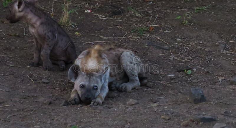 Młody hieny lying on the beach na ziemi obraz stock