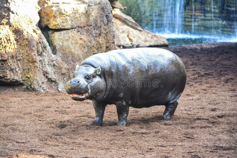 Młody hipopotamowy portret bierze słońce obraz royalty free