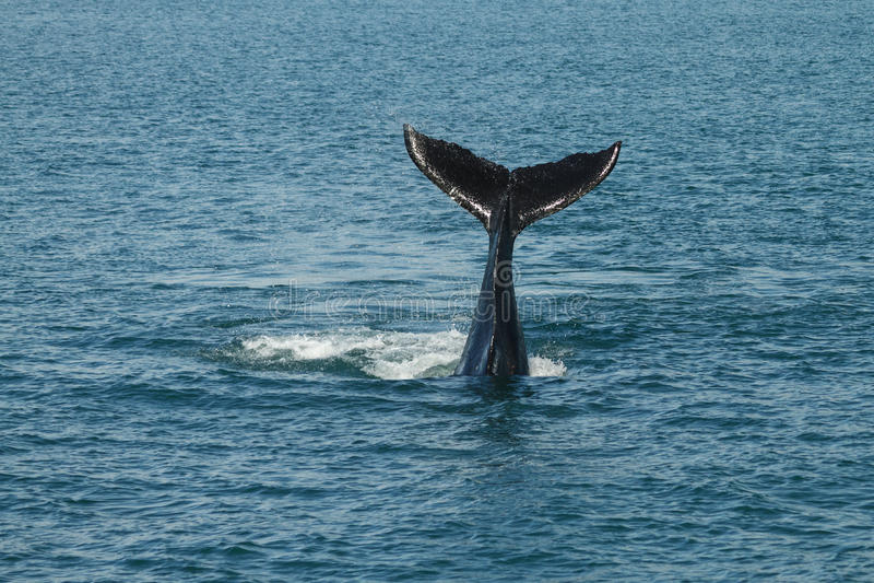 Młody Humpback wieloryb macha swój ogon (Megaptera novaeangliae) obraz stock