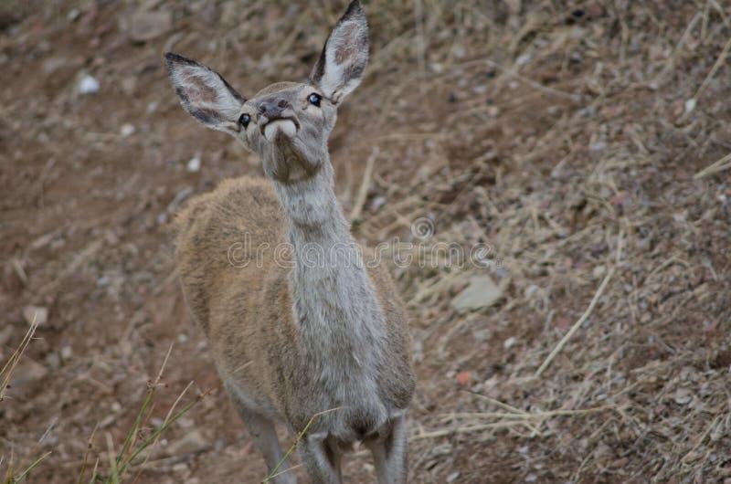 Młody Iberyjski czerwonych rogaczy Cervus elaphus hispanicus obwąchanie obraz stock
