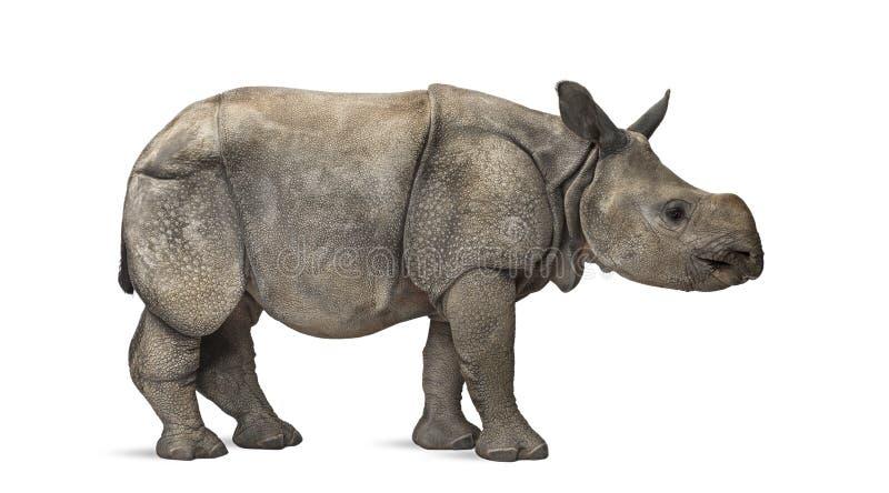 Młody indianin uzbrajać w rogi nosorożec (8 miesięcy starych) zdjęcie stock