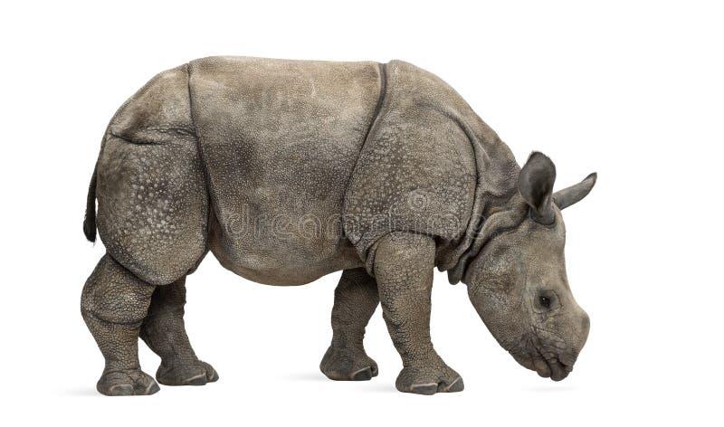 Młody indianin uzbrajać w rogi nosorożec (8 miesięcy starych) obraz stock