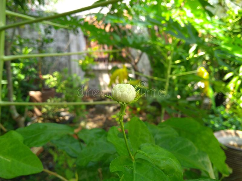 Młody jaśminowy kwiat pod cieniem y drzewo zdjęcia royalty free