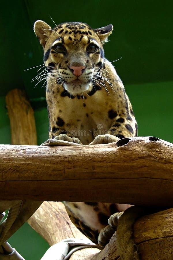 Młody jaguar, życzliwi zwierzęta przy Praga zoo zdjęcie royalty free