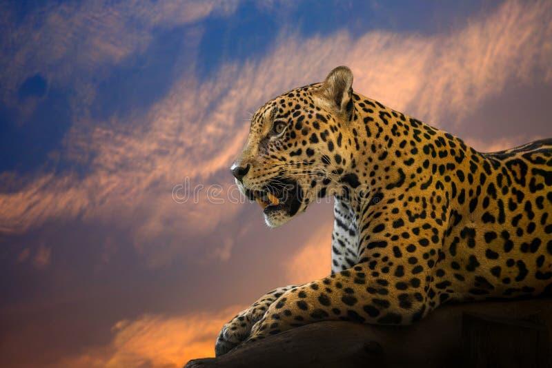 Młody Jaguar odpoczywa na skale obrazy royalty free