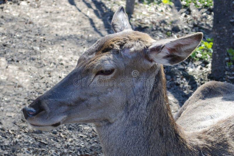 Młody jeleni lying on the beach na ziemi obrazy royalty free