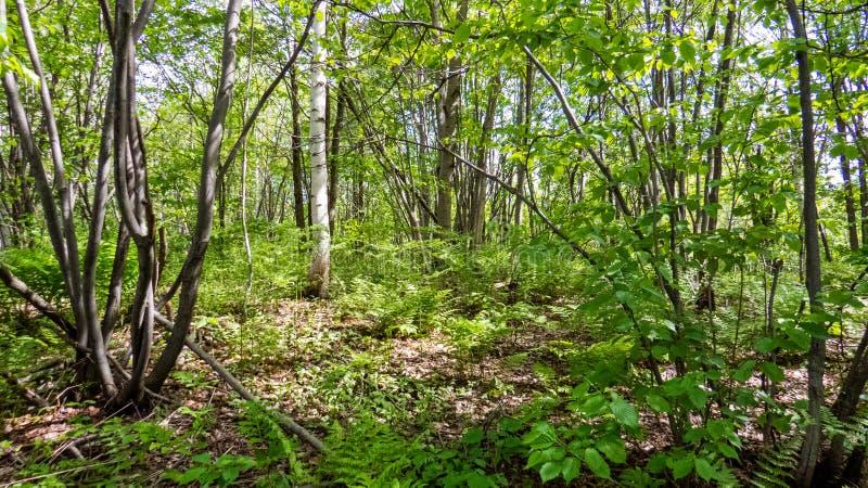 Młody Kanadyjski las od prowincji Quebec zdjęcie stock