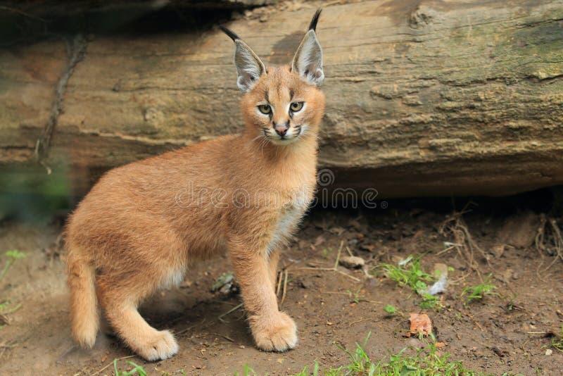 Karakali potomstw koty zdjęcie stock. Obraz złożonej z