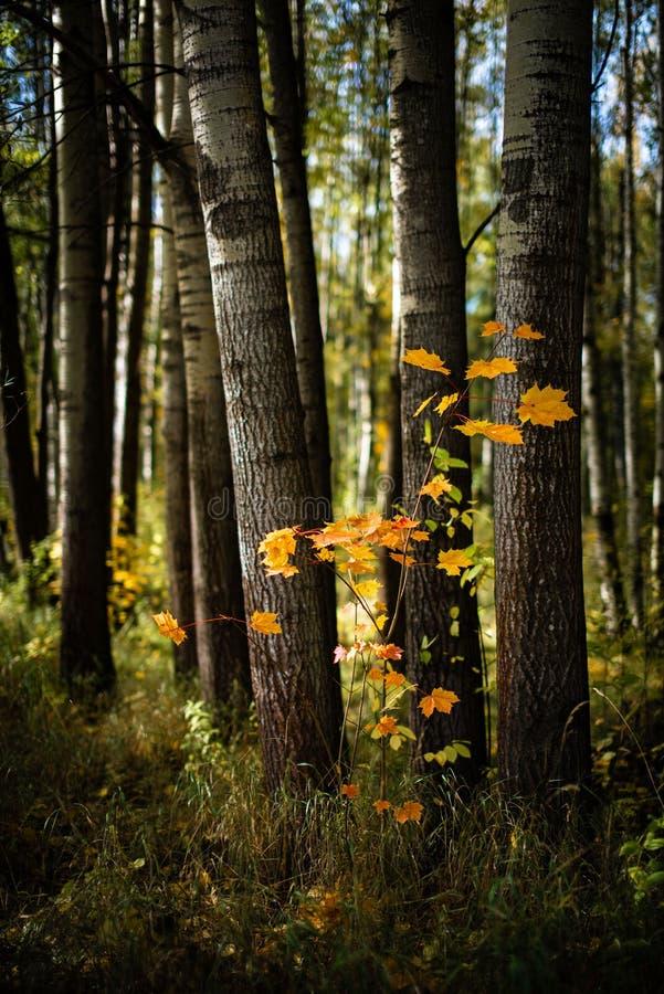 Młody klon między starymi drzewami obrazy royalty free