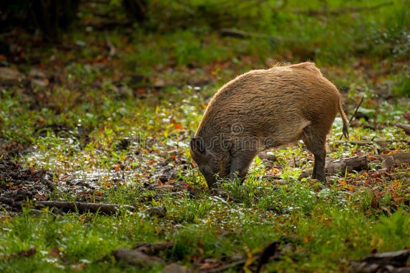 Młody knur patrzeje dla jedzenia w lesie obrazy royalty free