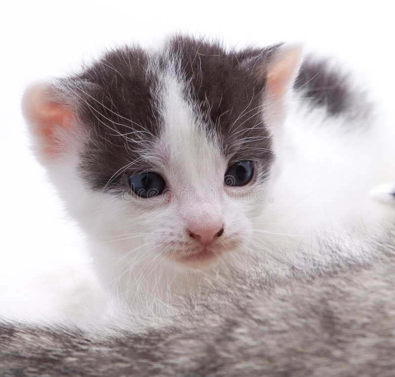 młody kociaków zdjęcie royalty free