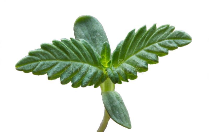 Młody krótkopęd marihuany roślina odizolowywająca na bielu zdjęcia royalty free