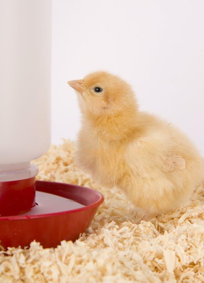 Młody Kurczak zdjęcie stock
