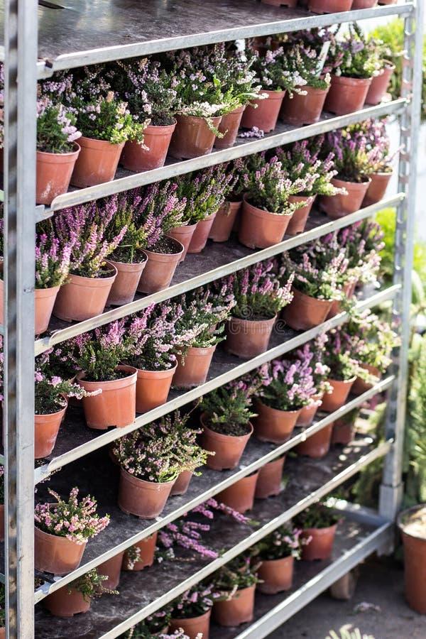 Młody kwiatonośny wrzos w garnkach na stojaku rynek obraz royalty free