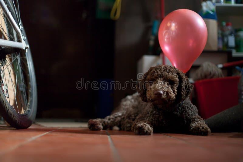 Młody lagotto romagnolo pies z balonami zdjęcie royalty free