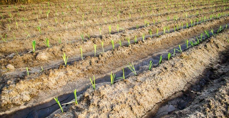 Młody leek dorośnięcie w polu Rolnictwo, warzywa, organicznie produkty rolni, przemysł farmlands obraz royalty free