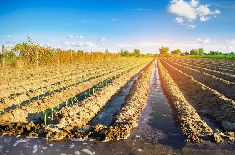 Młody leek dorośnięcie w polu Rolnictwo, warzywa, organicznie produkty rolni, przemysł farmlands obraz stock