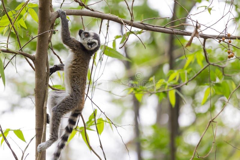 Młody lemur wspina się drzewa w Madagascar zdjęcie stock