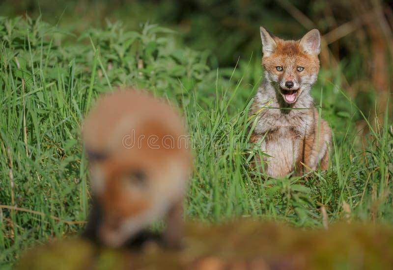 Młody lis ogląda jego rodzeństwa fotografia stock