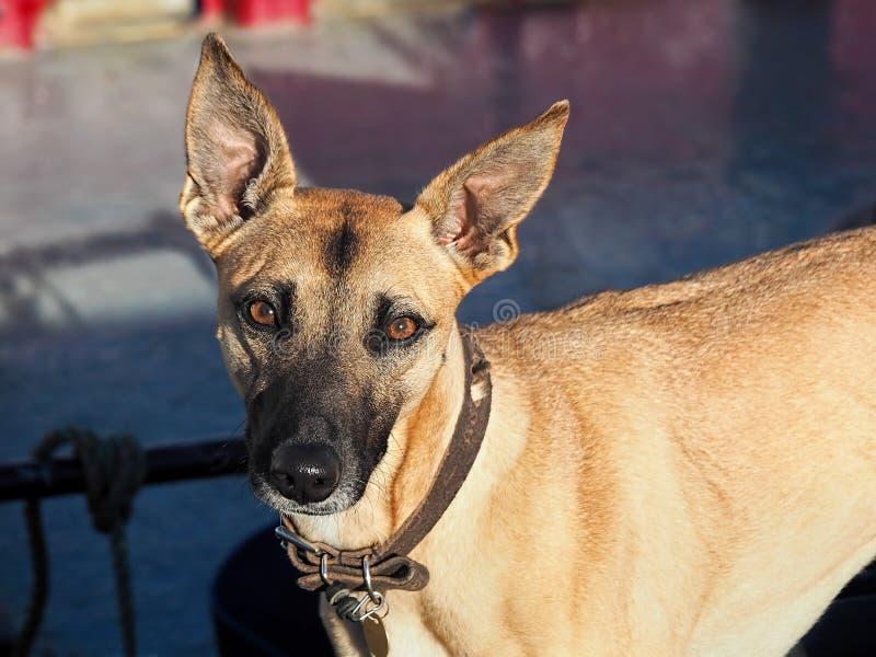 Młody Lurcher pies obraz stock