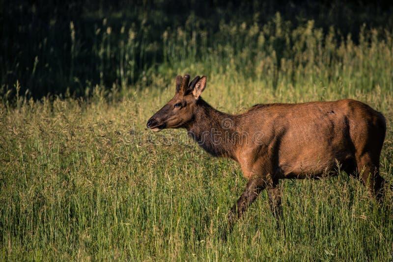 Młody męski łosia roczniak w trawie w Kolorado zdjęcia stock