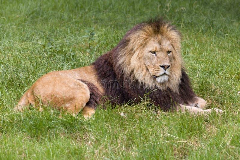 Młody męski Afrykański lwa portret fotografia royalty free