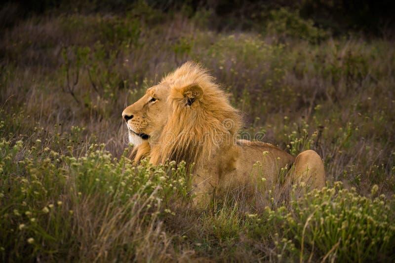 Młody męski lew zdjęcia stock