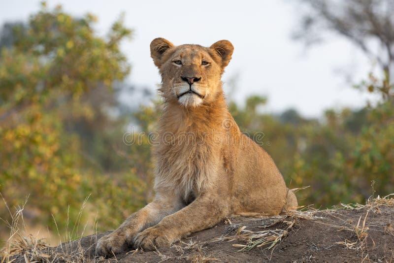 Młody męski lew patrzeje kamerę z perfect pionową posturą zdjęcie royalty free