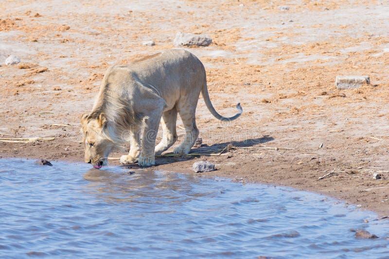 Młody męski lew pije od waterhole w świetle dziennym Przyroda safari w Etosha parku narodowym główny podróży miejsce przeznaczeni fotografia stock