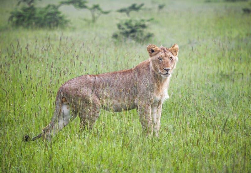 Młody męski lew w Masaai Mara fotografia royalty free