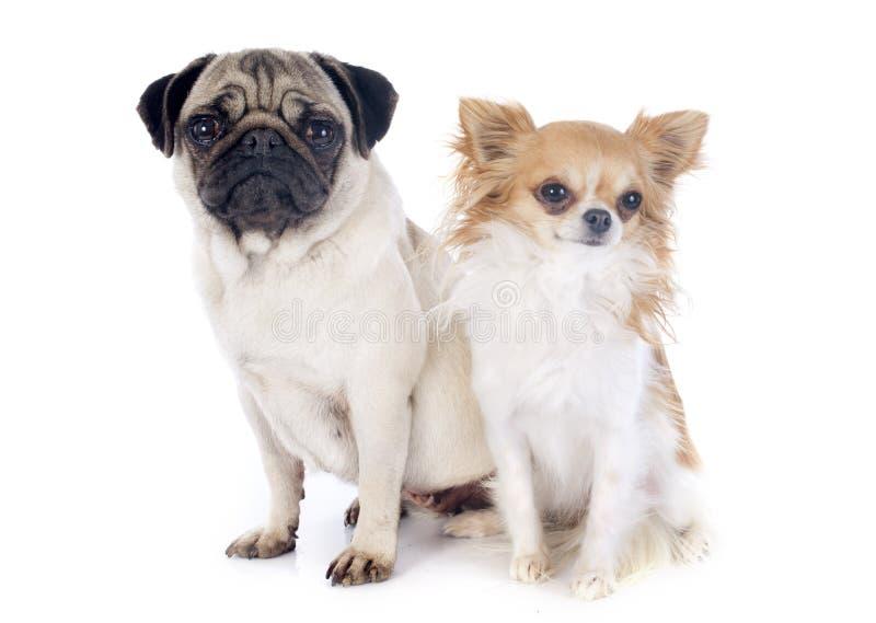 Młody mops i chihuahua fotografia royalty free