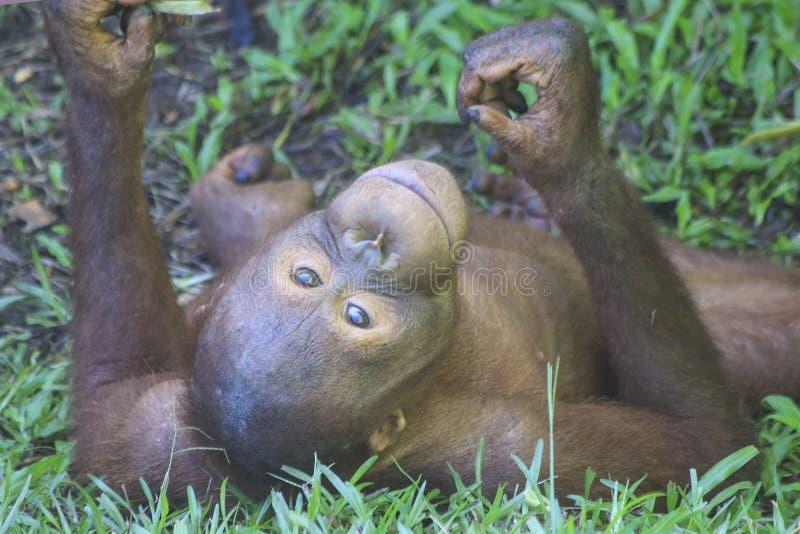 Młody Orangutan obraz stock