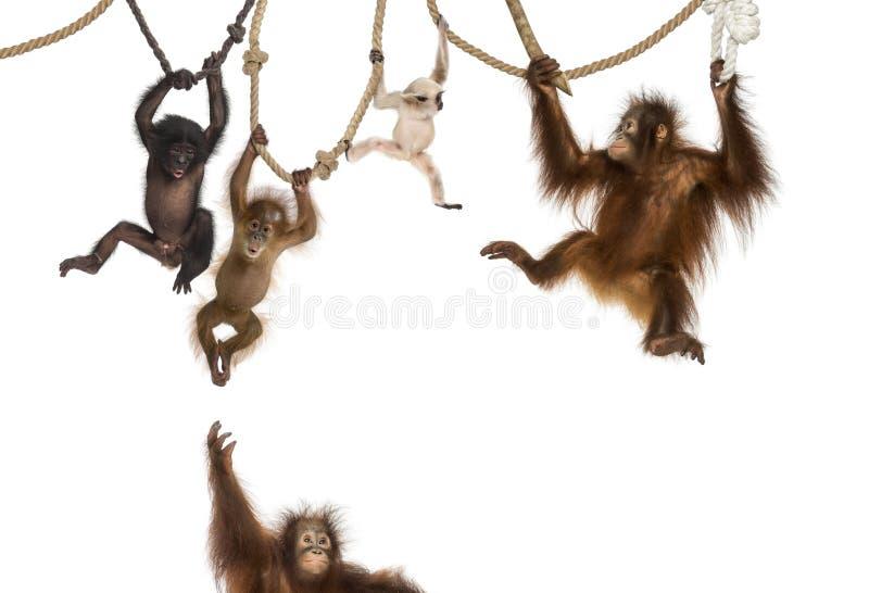 Młody Orangutan fotografia royalty free