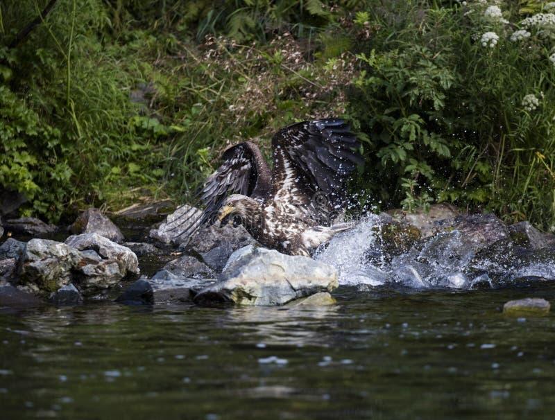 Młody orzeł ląduje w wodzie chwytać łososia fotografia royalty free