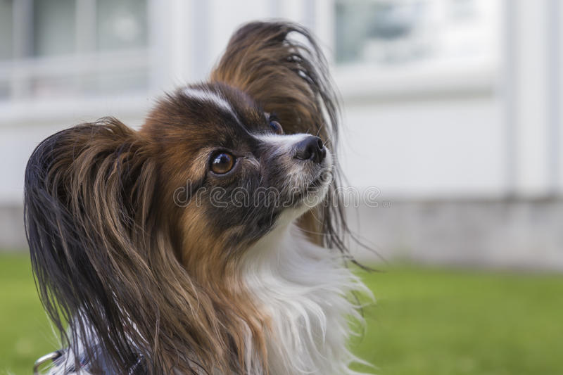 Młody papillion pies na trawie fotografia stock