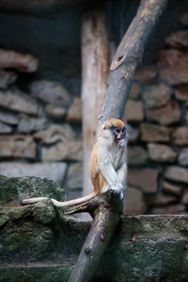 Młody Patas małpy łasowanie coś obrazy royalty free