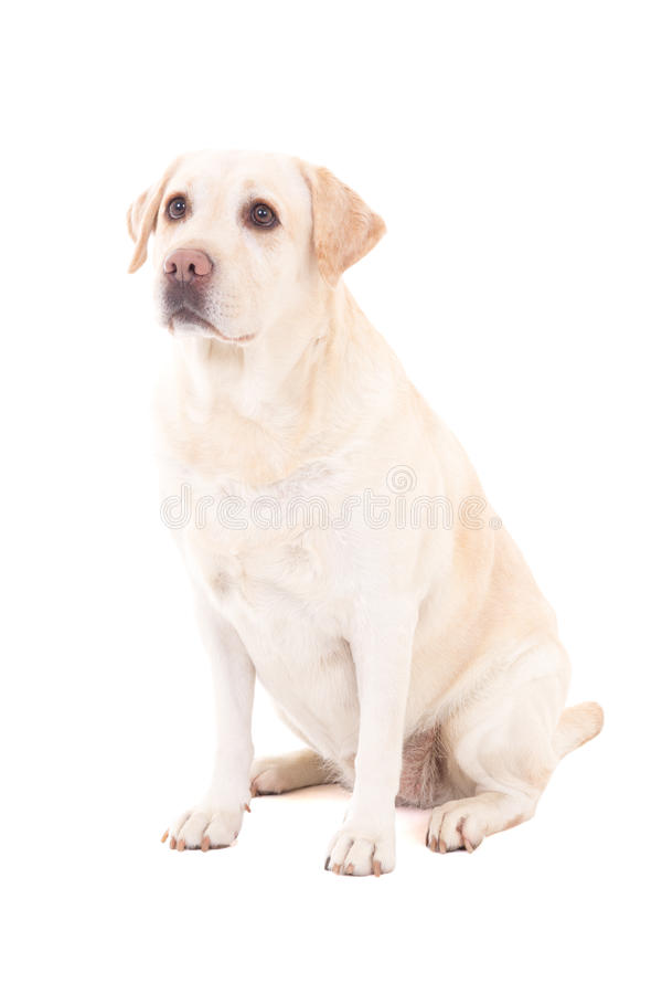 Młody piękny psi obsiadanie odizolowywający na bielu (golden retriever) obraz royalty free