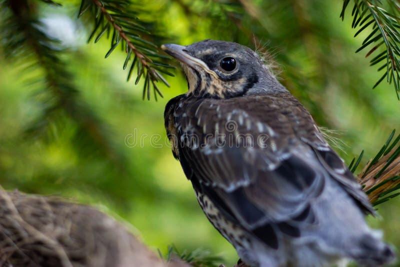 Młody pieśniowego drozda obsiadanie na gałęziaści kurczątka w gniazdeczku na gałąź zamkniętej w górę wiosny w świetle słonecznym  zdjęcie royalty free