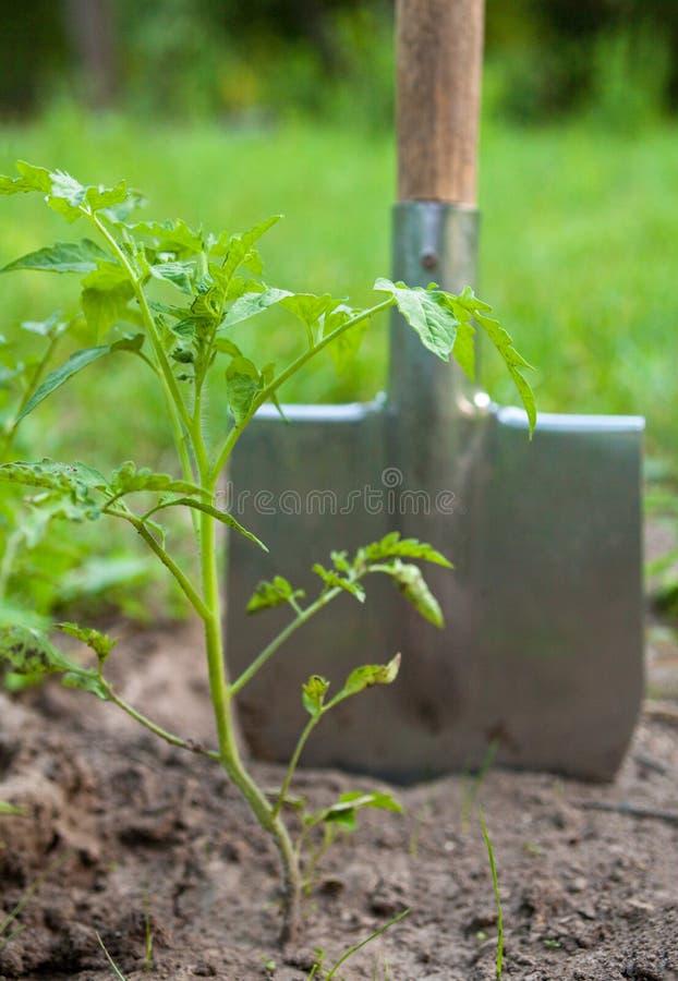 Młody pomidorowej rośliny i metalu rydel zdjęcia royalty free