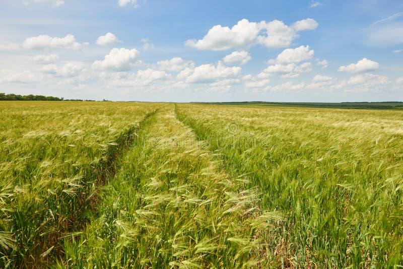 Młody pszeniczny pole jako tło, jaskrawy słońce, piękny lato krajobraz obrazy stock