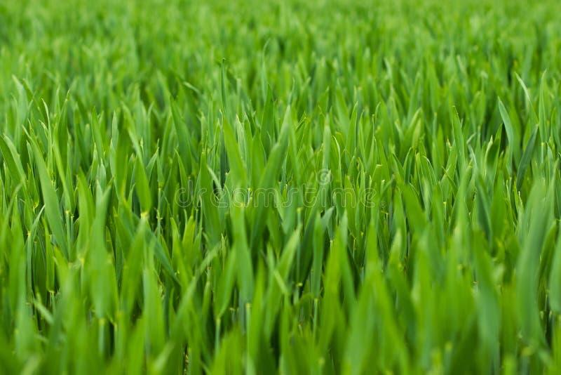 Młody pszeniczny pole, ostrość na przedpolu zdjęcie royalty free
