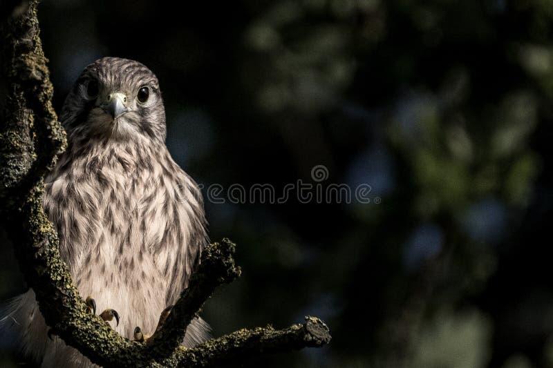 Młody ptak zdobycz w drzewie obraz stock