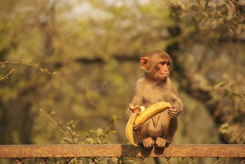 Młody Rhesus makaka łasowania banan, New Delhi zdjęcie stock